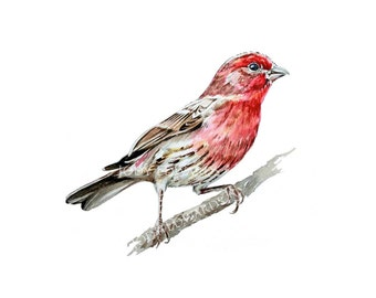 House Finch - Archival Quality Print