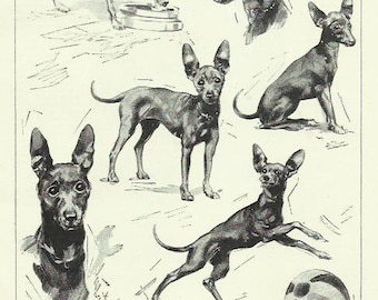Miniature Black and Tan Terrier Dog by Nicholson photo print 1935 dog print vintage print art canine dog picture home decor wall art