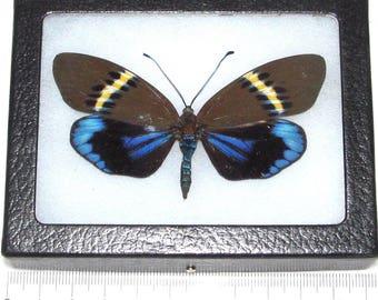 Real framed day flying moth blue green eterusia repleta