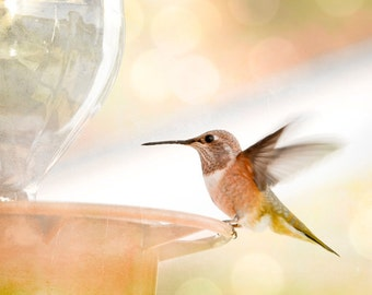 Nature photography, 8x10 hummingbird photograph in flight print peach