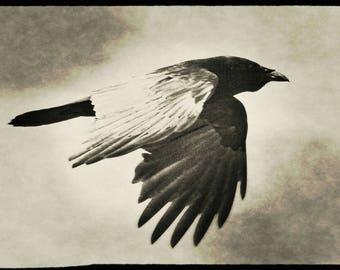 As The Dark Crow Flies