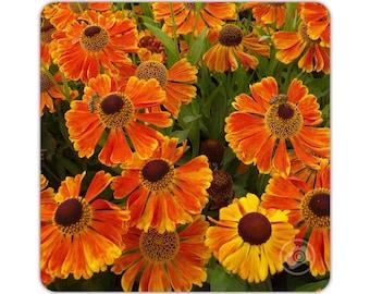Orange Heleniums   Tea Coaster   Coffee Coaster   Drinks Mat   Photo Print   Flowers   Garden