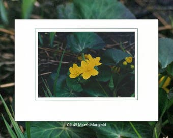 04.45 Marsh Marigold Individual Note Cards