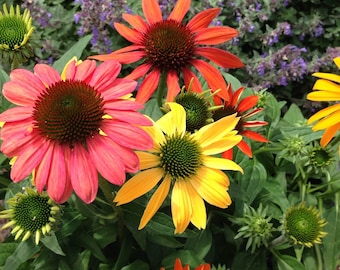 Coneflower Seeds Orange Coneflower Seed Echinacea purpurea Mixed Colors Perennial Flower Seed