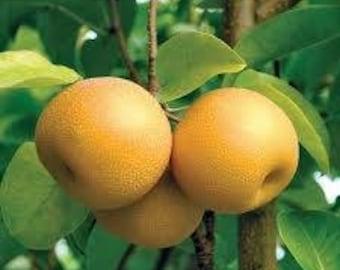 Mini Hosui Asian Pear Tree
