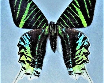 ONE Real Butterfly Day Flying Moth Green Blue Urania Leilus South American Sunset Moth