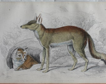 nice handcoloured engraving of syrian fox egyptian fox 1840