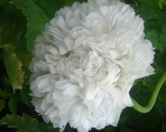 White Peony Poppy seeds