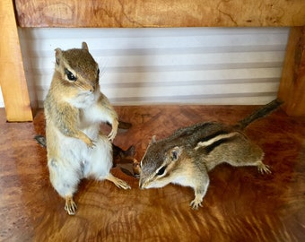Chip and Dale, Taxidermy Chipmunks