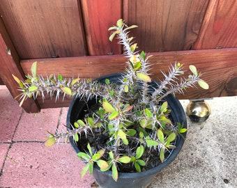 Dwarf Crown of Thorns Succulent
