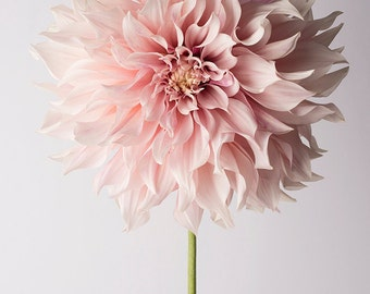 Flower Photography - Floral Still Life Photography, Pink Dahlia, Cafe au Lait, Wall Decor, Wall Art