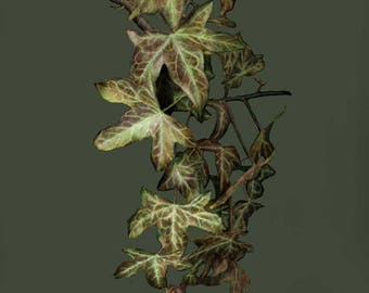 Ivy Giclee Canvas Print