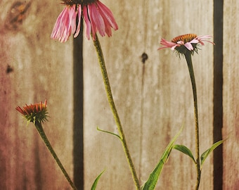 Floral Nature Photography - Coneflowers and Fence - 8x10 fine art print - summer pink tan green flower rustic cottage chic home decor