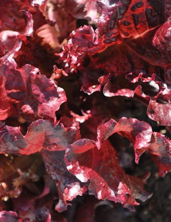 Lettuce: Merlot