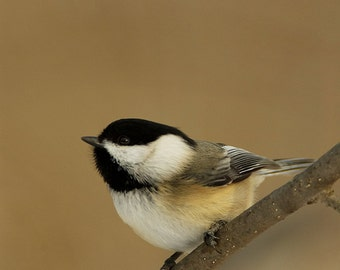 Black capped Chickadee Sitting on a branch fine Art Photograph