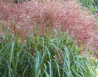 LIVE PLANT --  Miscanthus sinensis David - Japanese Silver Grass, Plant in 9cm Pot