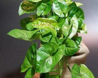 Arrowhead Plant (Nephthytis)