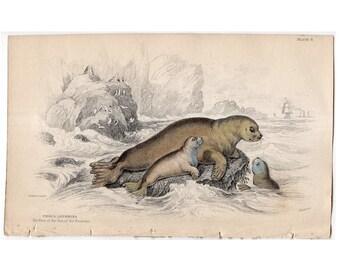 1833 ANTIQUE SEAL ENGRAVING original antique sealife print - hare of the sea - seal print