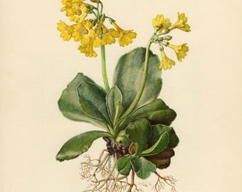 Vintage lithograph of the auricula, mountain cowslip or bear's ear from 1954