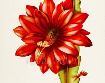 Red Orchid Cactus Flower Art Print, Botanical Art Print, Flower Wall Art, Flower Print, Floral Print, Cactus Art, red