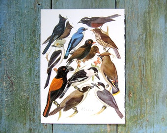 Bird Print - Shrikes, Swallows, Waxwing, Vanga - 1968 Vintage Print - from Encyclopedia