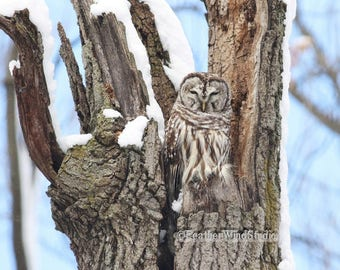 Owl Photography | Roosting Barred Owl | Raptor Decor | Nature Wall Art | Hospital Lobby Decor | FeatherWindStudio | Owl in Dead Tree Print