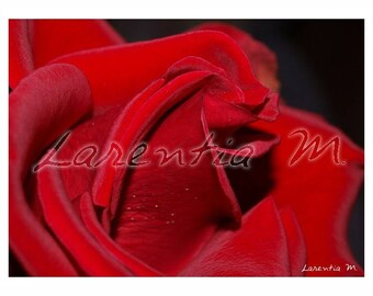 30X40cm red rose close up photo of the morning dew