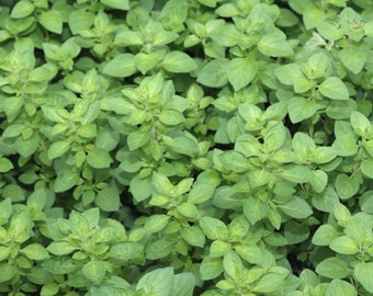 Italian Herb Seeds, Cilantro Seeds,Sage Seeds, Window Herbs, Culinary Herb Seeds, Oregano Seeds, Sweet Basil Seeds, Aromatic Herbs