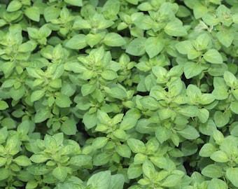 Italian Herb Seeds, Cilantro Seeds,Sage Seeds, Window Herbs, Culinary Herb Seeds, Oregano Seeds, Sweet Basil Seeds, Aromatic Herbs