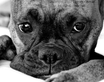 Emma Jean - Boxer Photography Dog Black and White Pet Fine Art Lustre Print - 8x10 Photograph
