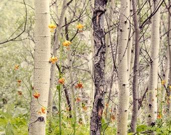 Aspen Trees Photography Print - South Chilcotin National Park, British Columbia