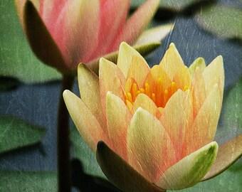 Water Lilies Yellow Peach Orange - From Still Water
