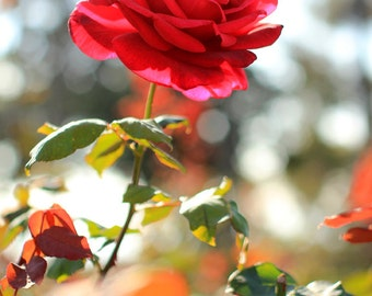 Red Rose Photo Print - Fine Art Flower Photography - Romantic Floral Wall Decor - Size 8x10, 5x7, or 4x6