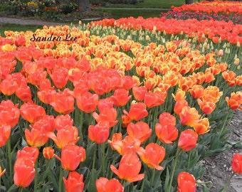 Fine Art Photo Orange Tulips Signed 8 X 10