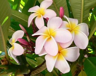 Fresh 10 Seeds Plumeria Frangipani Lightly Pink Flowers