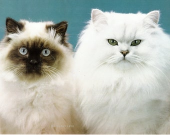 Seal Point Himalayan and Chinchilla Cat Poster Feline Art Vintage Photo Poster 10 in x 14-1/2 in Poster Book Print 1980's