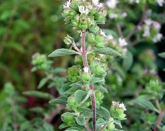 Sweet Marjoram Herb Seeds (Majorana Hortensis) 200+Seeds