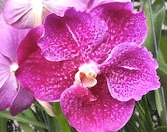Orchid - Vanda Red Scarlet Kultana ….. Stock #299