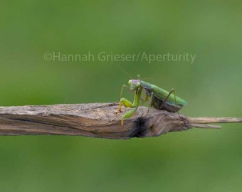 Praying Mantis: Fine Art Photography