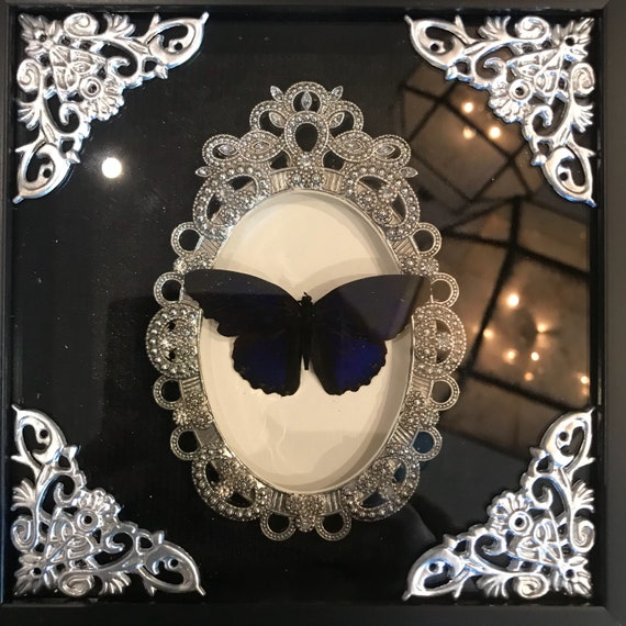 Gorgeous blue velvet butterfly taxidermy display !