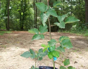 Quachita Thornless Blackberry Plant Nutritious Health Plants Sweet Blackberries Amino Acids Minerals Antioxidants Garden Grow Food Gardens