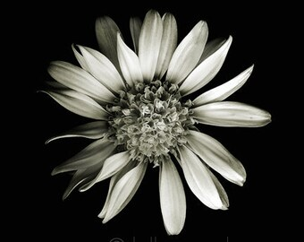 botanical fine art photography by kelly angard - flower photograph,  floral black and white photo