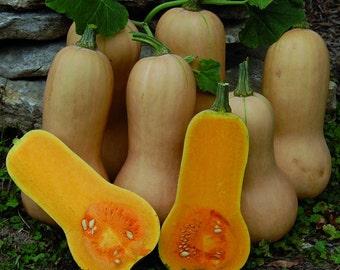 20-25 WALTHAM BUTTERNUT Squash Seeds. Premium Seeds. Heirloom. Non-GMO.