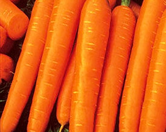 Carrot, Scarlet Nantes Organic, PP, Vegetable, Burpee Garden Seeds