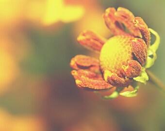 Sneeze Weed Color Photo Print { yellow, sunshine, sunlight, flower, blooming, orange, bud, wall art, macro, nature & fine art photography }