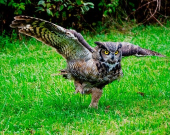 owl photo, great horned owl, wildlife photography print, animals nature close up, bird of prey, fly in flight, fine art home decor, wall art