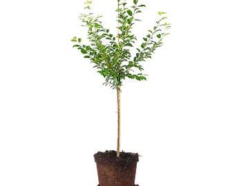 METHLEY PLUM tree Size: 4-5 FT