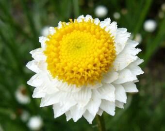 Ammobium Winged Everlasting Flower Seeds  (Ammobium Alatum Grandiflorum) 200+Seeds