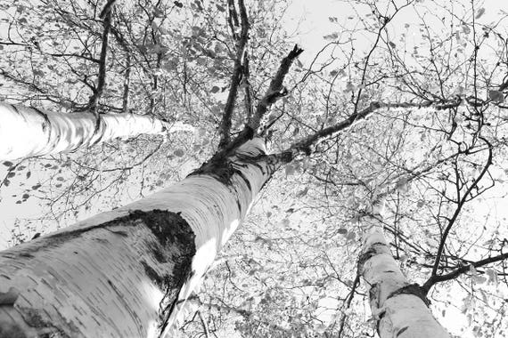 Birch trees art photo print black and white tree picture