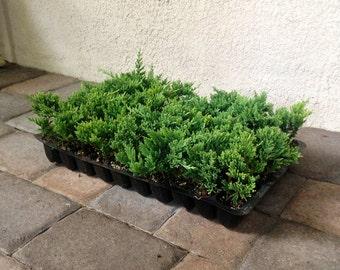 Blue Rug Juniper Live Plants Evergreen Ground Cover Juniperus Horizontalis Wiltonii